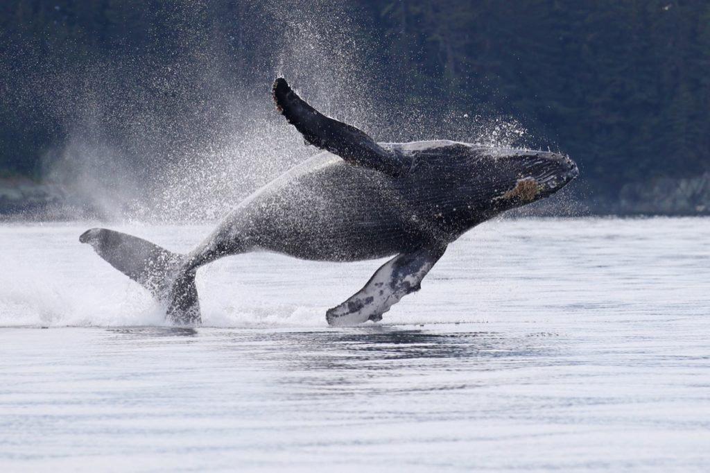 This humpback is brimming with excitement as he breaches!