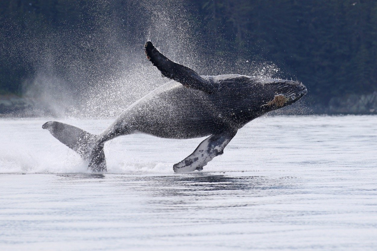 Juneau, Alaska: Premiere Humpback Whale Watching Destination