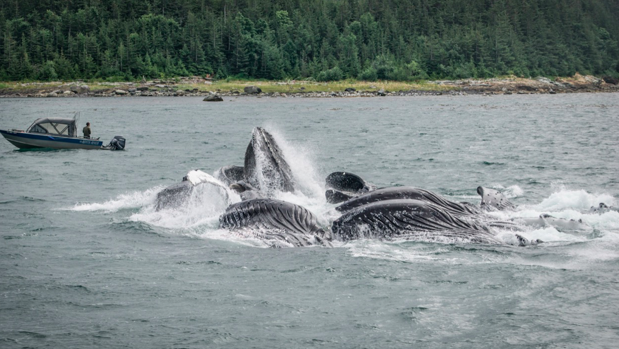 Will I See Bubble-Net Feeding in Juneau, Alaska?