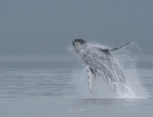 Whale Breaching Explained…May be?