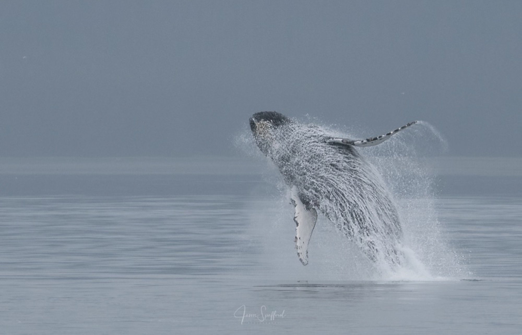 Whale Breaching Explained?May be?