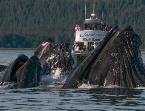 Back to Business at Juneau Tours and Whale Watch